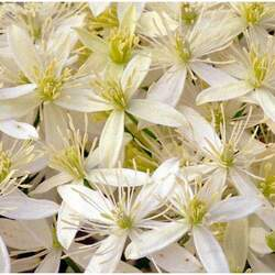 Clematis virginiana Virgin's Bower, Devil's Darning Needles seed for sale