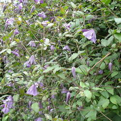 Clematis viticella Italian Clematis, Italian Leather Flower seed for sale