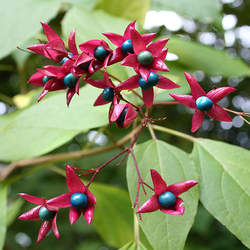 Clerodendrum trichotomum Harlequin Glorybower, Glory Bower seed for sale