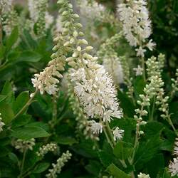 Clethra alnifolia Summer-sweet, Sweet Pepper Bush, Coastal Sweetpepperbush, Summer Sweet, Summersweet Clethra seed for sale