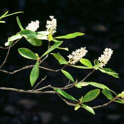 Cliftonia monophylla Buckwheat Tree, Buckwheat Brush, Titi, Black Tree, Ironwood seed for sale