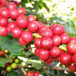 Coffea arabica Coffee, Arabian Coffee, Mountain Coffee, Arabica Coffee, Coffee Shrub Of Arabia seed for sale