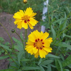 Coreopsis grandiflora Tickseed, Largeflower Tickseed, Large-flowered Tickseed, Coreopsis seed for sale