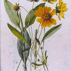 Coreopsis grandiflora Largeflower Tickseed, Tickseed, Large-flowered Tickseed, Coreopsis seed for sale