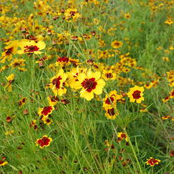 Coreopsis tinctoria Golden Tickseed seed for sale