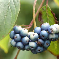 Cornus amomum Silky Dogwood seed for sale