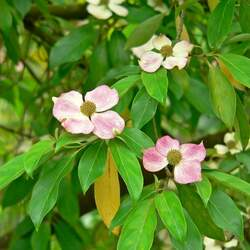 Cornus capitata angustata Evergreen Chinese Dogwood, Evergreen Dogwood seed for sale