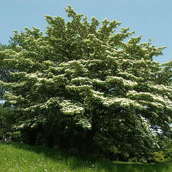 Cornus controversa Giant Dogwood seed for sale