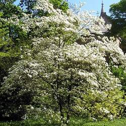Cornus florida    Northern White Flowering Dogwood, Flowering Dogwood seed for sale