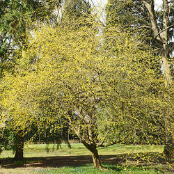 Cornus mas Cornelian Cherry seed for sale