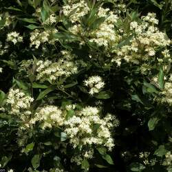 Cornus racemosa Gray Dogwood, Northern Swamp Dogwood seed for sale