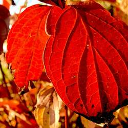 Cornus sanguinea Bloodtwig Dogwood seed for sale