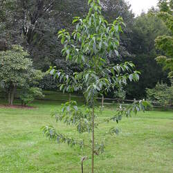 Cornus wilsoniana Wilson's Dogwood seed for sale