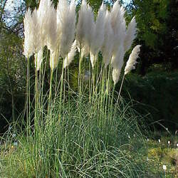 Cortaderia selloana Pampas Grass, Uruguayan Pampas Grass seed for sale