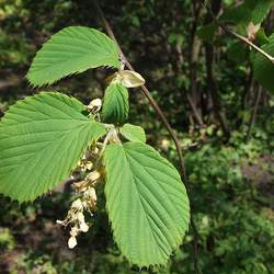 Corylopsis sinensis Chinese Winterhazel, Winter Hazel seed for sale