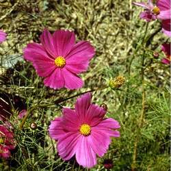 Cosmos bipinnatus Common Cosmos, Garden Cosmos seed for sale