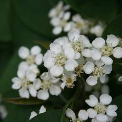 Cotoneaster multiflorus Many-flowered Cotoneaster seed for sale