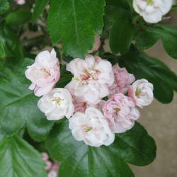 Crataegus laevigata English Hawthorn, Smooth Hawthorn, Midland Hawthorn, Woodland Hawthorn, Mayflower seed for sale