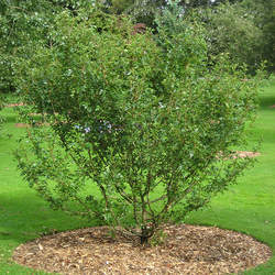 Crataegus pinnatifida Chinese Haw seed for sale
