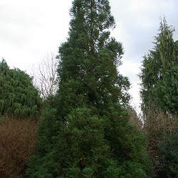 Cryptomeria japonica   Lobbii Lobbii Japanese Red Cedar seed for sale