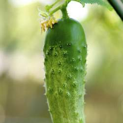 Cucumis sativus  National Pickling Cucumber - National Pickling Variety seed for sale