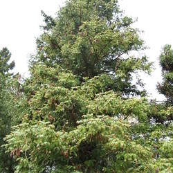 Cunninghamia lanceolata Common China Fir, Chinese Fir seed for sale