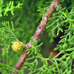 Cupressus abramsiana Santa Cruz Cypress seed for sale