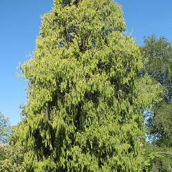 Cupressus funebris Chinese Weeping Cypress, Mourning Cypress, Funeral Cypress seed for sale