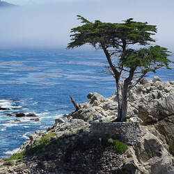Cupressus macrocarpa Monterey Cypress seed for sale