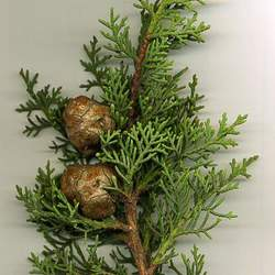 Cupressus sempervirens  Horizontalis Italian Cypress, Mediterranean Cypress seed for sale