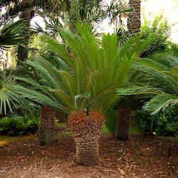 Cycas revoluta Sago Palm, King Sago Palm, Sago Cycad, Japanese Sago Palm, Funeral Palm seed for sale