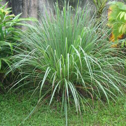 Cymbopogon flexuosus East Indian Lemongrass seed for sale