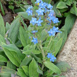 Cynoglossum amabile   Firmament Forget-Me-not, Chinese Hound's Tongue seed for sale