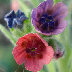 Cynoglossum officinale Gypsyflower, Hound's Tongue seed for sale
