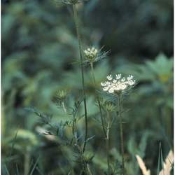 Daucus carota     burrs Queen Anne's Lace, Queen Annes Lace, Wild Carrot seed for sale