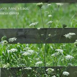Daucus carota Queen Anne's Lace, Wild Carrot, Bird's Nest, Bishop's Lace seed for sale