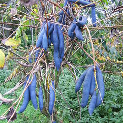 DECAISNEA fargesii Blue Sausage Fruit, Blue-bean, Dead Man's Fingers seed for sale