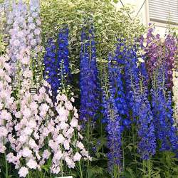 Delphinium sp   Pacific Giants Hybrids Pacific Giants Hybrids Delphimium seed for sale