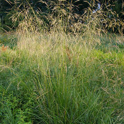 Deschampsia cespitosa Tufted Hairgrass seed for sale
