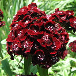 Dianthus barbatus   Single Mix Sweet William seed for sale