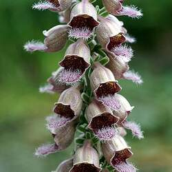 Digitalis ferruginea Rusty Foxglove seed for sale