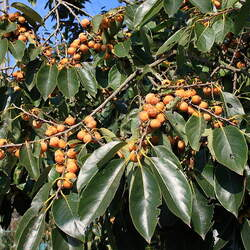 Diospyros lotus Dateplum Persimmon, Date Plum, Caucasian Persimmon seed for sale