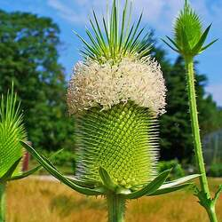 Dipsacus sativus Indian Teasel, Fuller's Teasel, Cultivated Teasel seed for sale