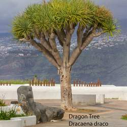 Dracaena draco Dragon Tree, Dragontree seed for sale