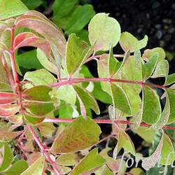 EUSCAPHIS japonica Korean Sweetheart Tree, Euscaphis Tree seed for sale