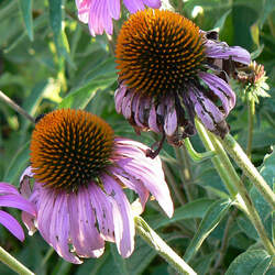 Echinacea angustifolia Narrow-leaved Coneflower, Black Samson Echinacea seed for sale