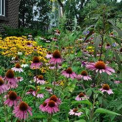 Echinacea purpurea Purple Coneflower, Eastern Purple Coneflower seed for sale