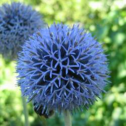 Echinops ritro Globe Thistle, Southern Globethistle seed for sale
