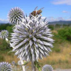 Echinops sphaerocephalus Great Globethistle, Giant Globe Thistle, Great Globe Thistle, Common Globe Thistle seed for sale