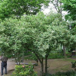 Elaeagnus umbellata Autumn Olive seed for sale